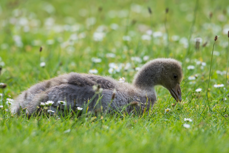 DAVID_JEFFERY York, Geese and Goslings 03.06.18 0013
