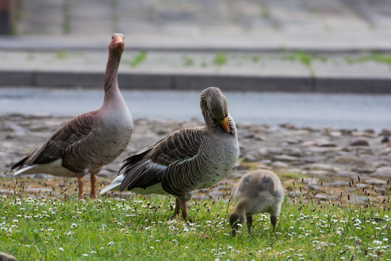 DAVID_JEFFERY York, Geese and Goslings 03.06.18 0009