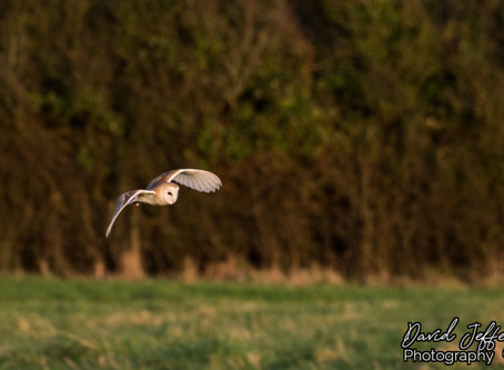 Beeding Brook Barn Owl 06.10.19