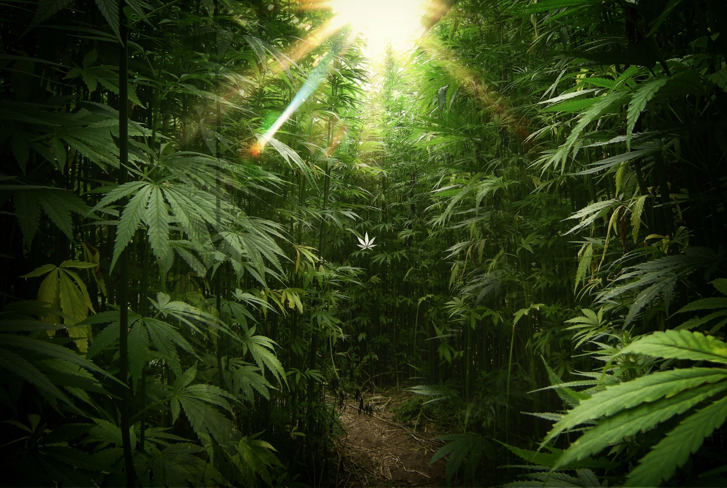 marijuana wallpaper 030 - 2800x1880