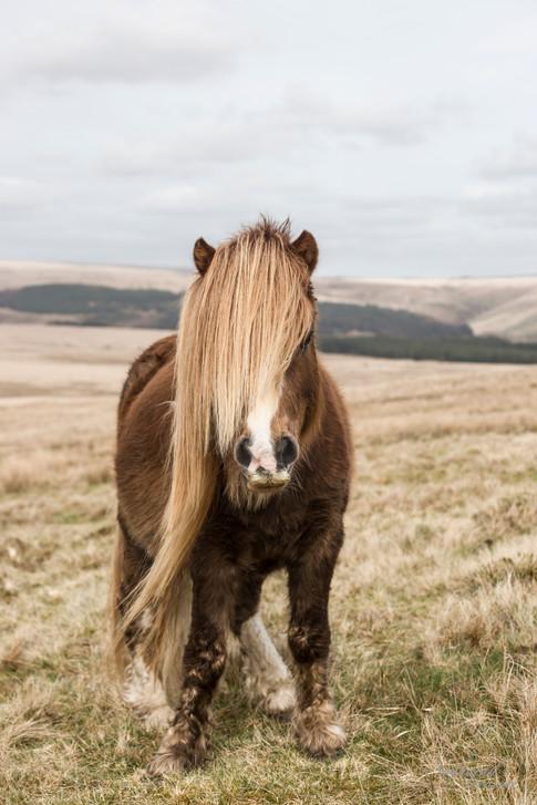 The long mane pony