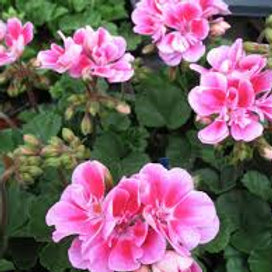 Geranium Bush Pink
