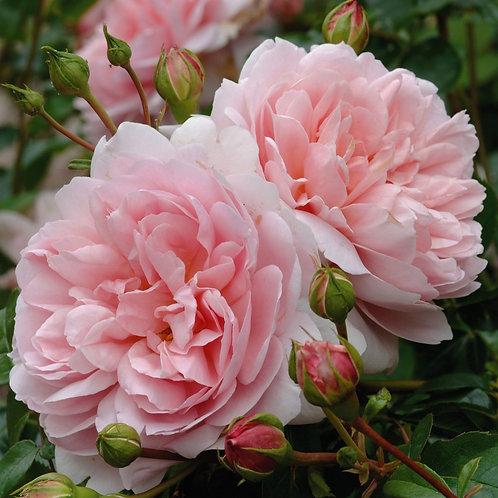 Rosa 'Wildeve'