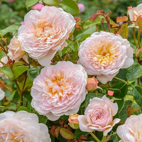 Rosa 'Emily Bronte'