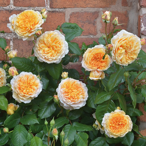 Rosa 'Crown Princess Margerita'