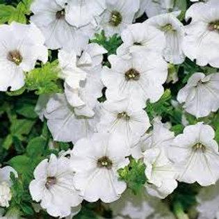 Surfinia Petunia White