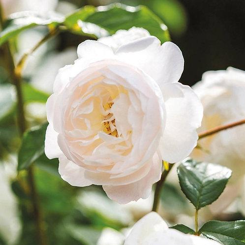 Rosa 'Desdemona'