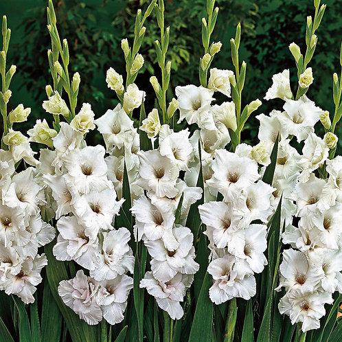 Gladioli 'White Prosperity'