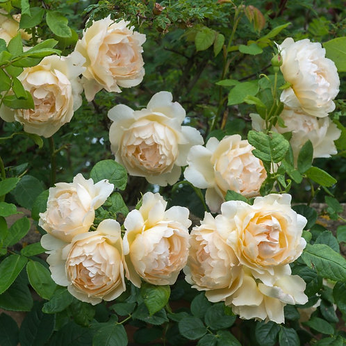 Rosa 'Wollerton Old Hall'
