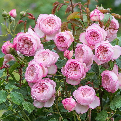 Rosa 'The Mill on the Floss'
