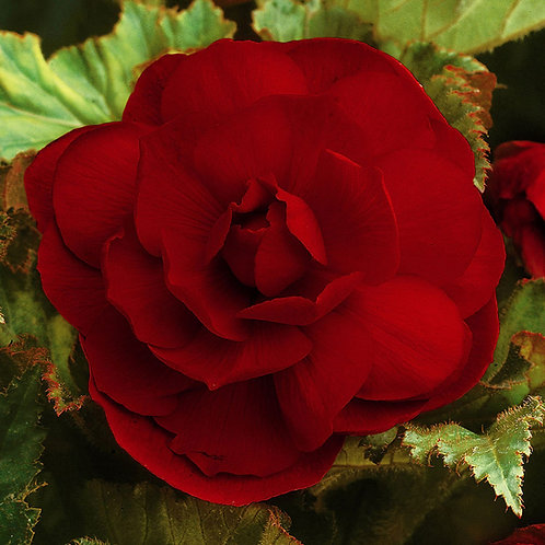 Begonia Double Red
