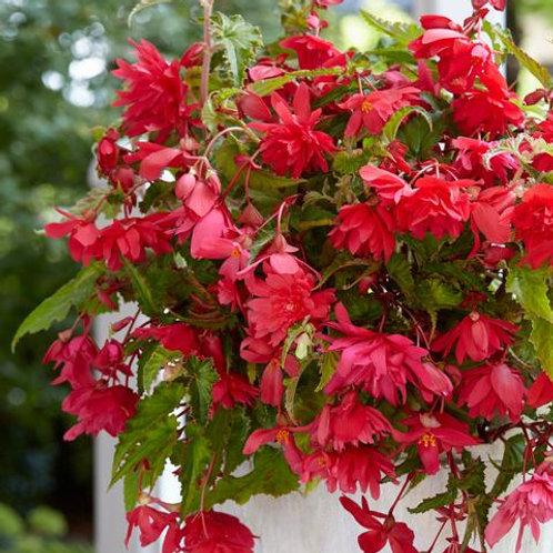 Begonia Cascading Pink