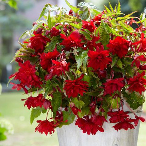 Begonia Cascading Red