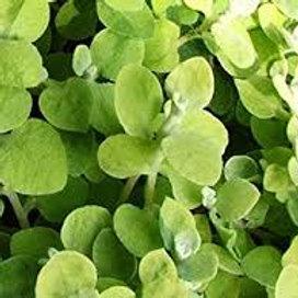 Helichrysum Gold Leaf