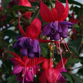 Bush Fuchsia Winston Churchill