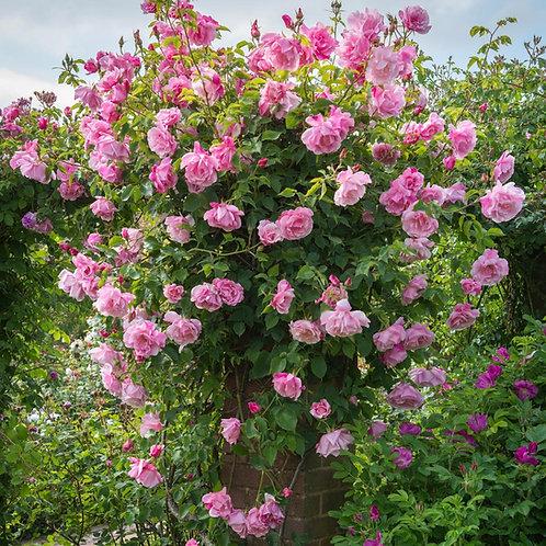 Rosa 'Mme Gregoire Staechelin'