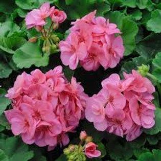 Geranium Trailing Pink