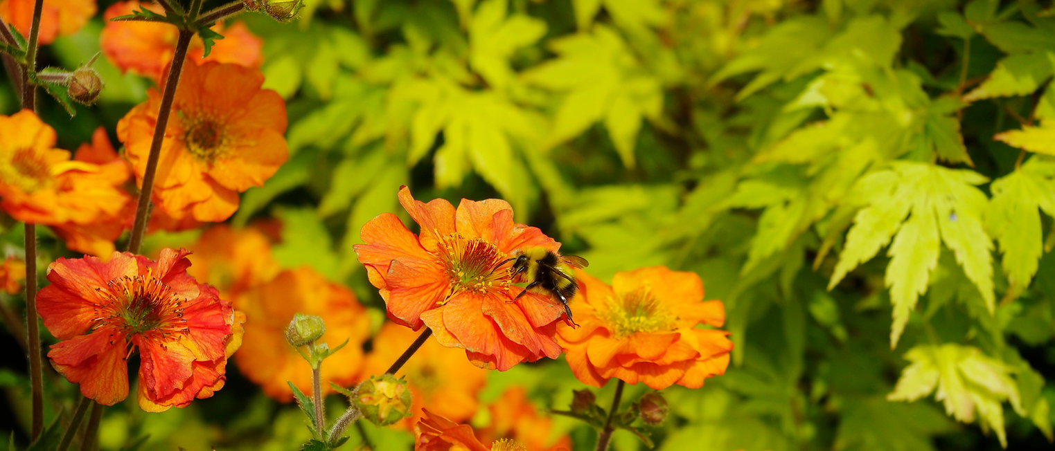 Pretty Geum 'Totally Tangerine' on beautiful Maple's backdrop