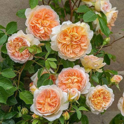 Rosa 'Bathsheba'