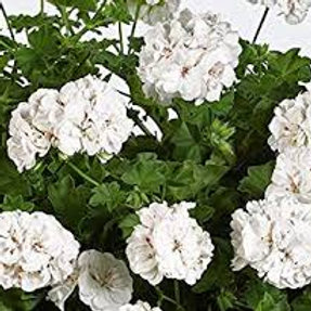 Geranium Trailing White