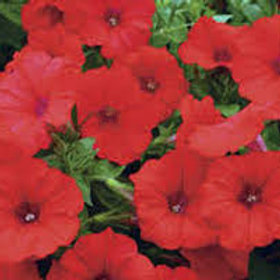 Surfinia Petunia Red