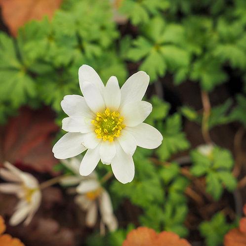 Anemone blanda 'White Shades'
