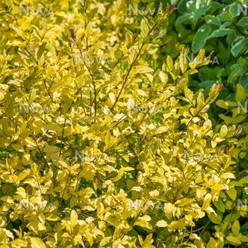 Ligustrum undulatum 'Lemon and Lime'