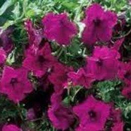 Surfinia Petunia Purple