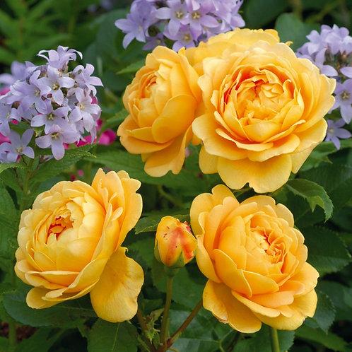 Rosa 'Golden Celebration'