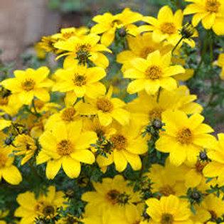 Bidens Yellow