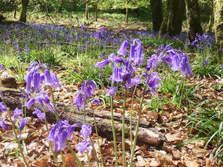 May Newsletter: The One With All the Bluebells