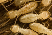 Speedy's Termite Control 562-353-9004 FREE Termite Treatment Estimate
