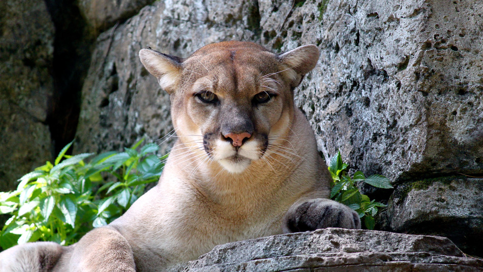 Cougar Brother