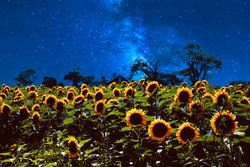 NightofSunflowers