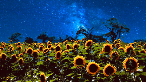 Night of Sunflowers