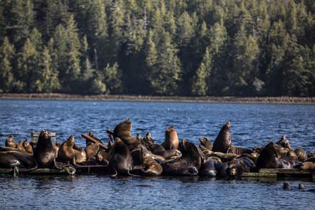 Seals - Vancouver Island - Canada