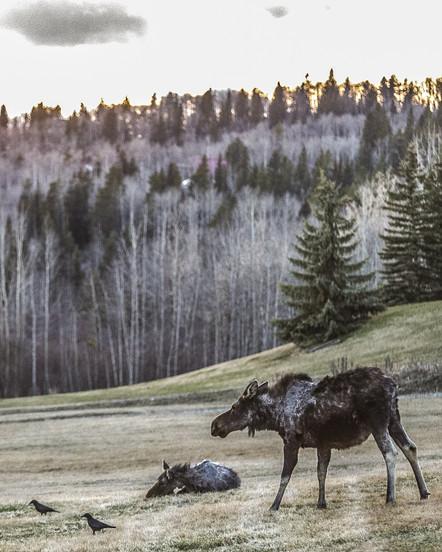 Moose - Banf - Canada
