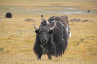 Safari tibétain