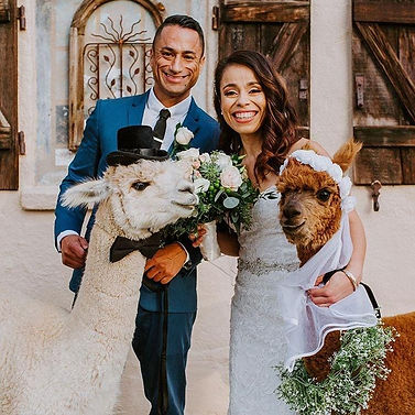 Alpaca Wedding.jpg