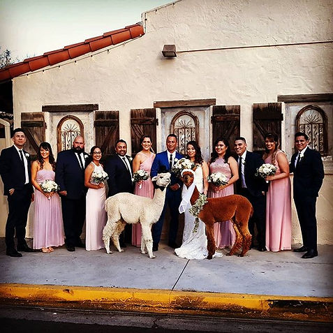 Happy wedding day_#alpacawedding