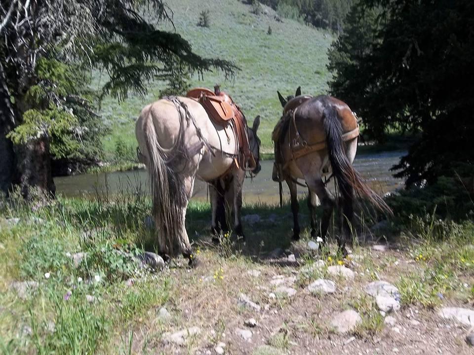 roush mules