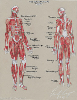 Anatomical Muscles