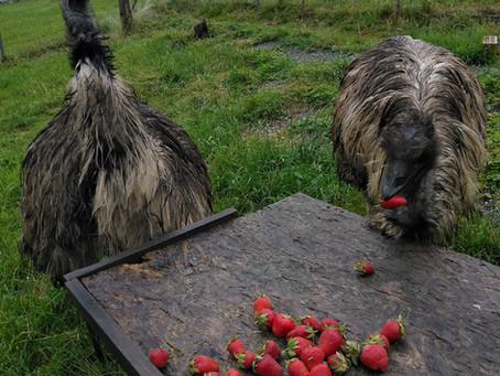 Regen? Für Rheintaler Erdbeeren machen wir alles...