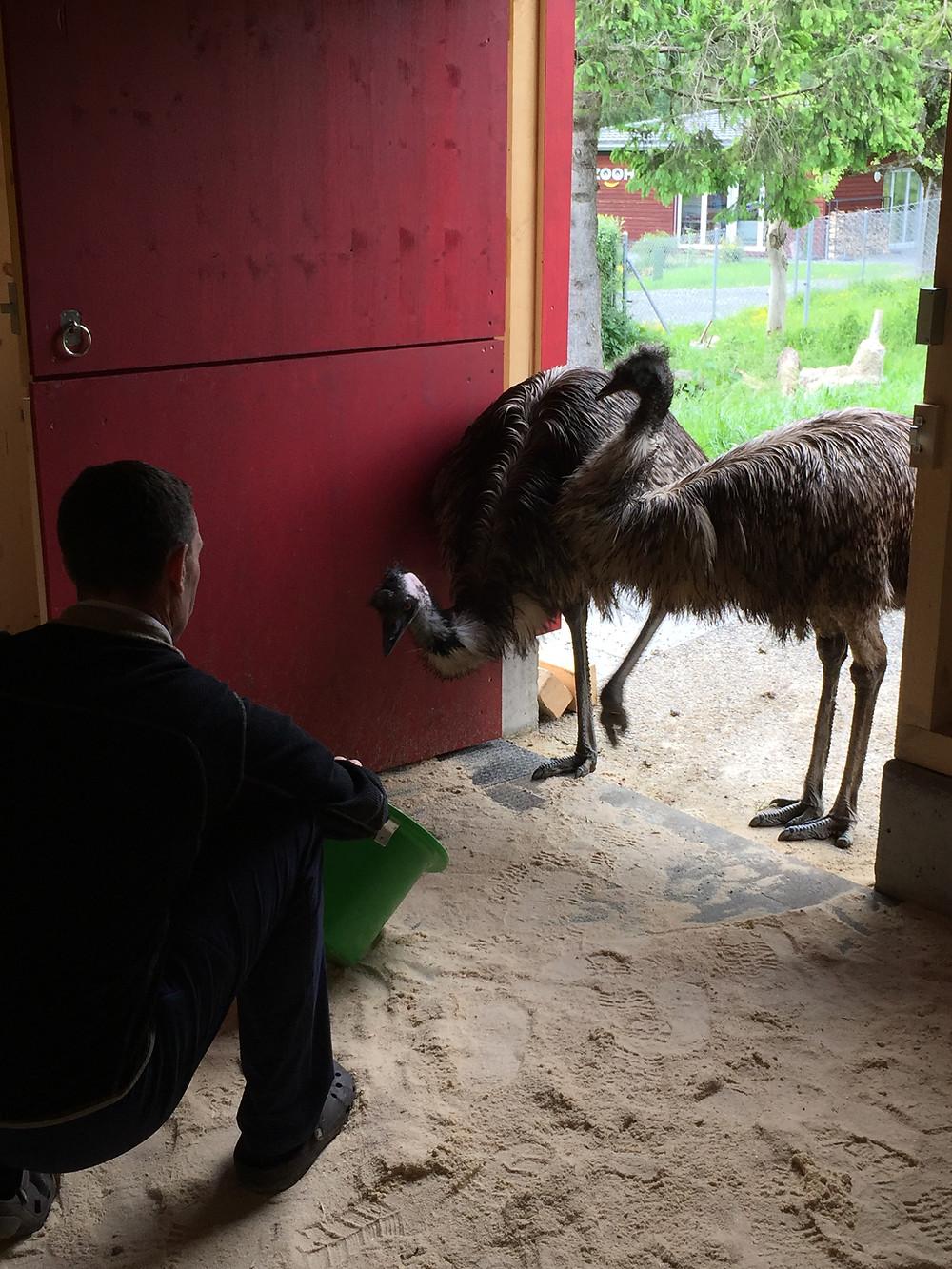 Unsere Emus Martha und Max spazieren das 1. Mal in den neuen Stall.