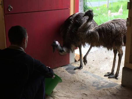 Emu's erkunden ihren neuen Stall