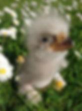 Küken Riesenseeadler
