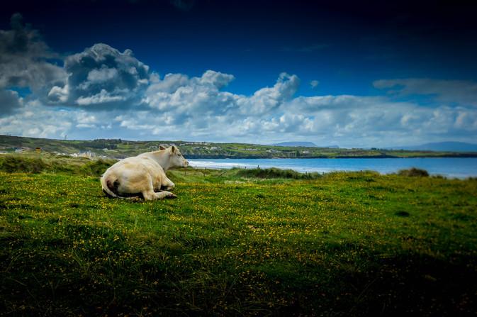Resting Cow, Ireland