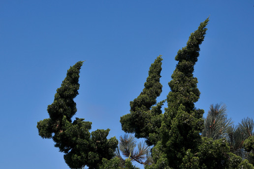 Dog Trees, Southern CA
