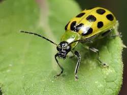 Dahlia Pest: Cucumber Beetle