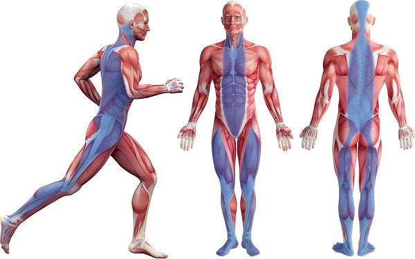 筋膜説明・むげん整骨院